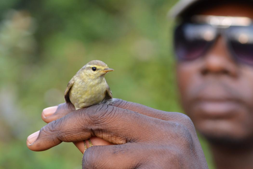 researcher holding small bird in nigerian montane forest