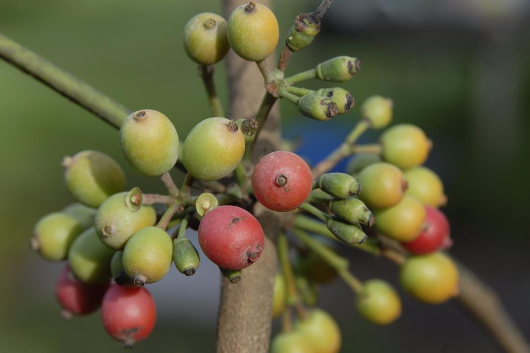 mistletoe fruits in afromontane forest