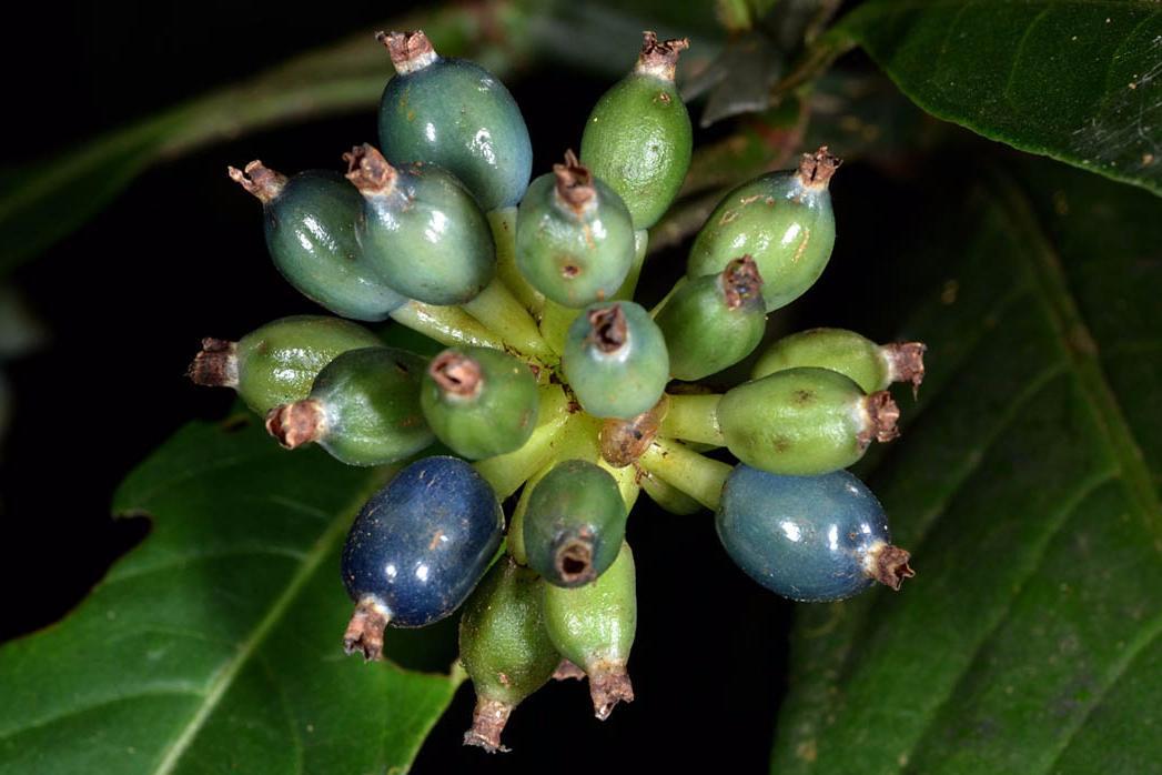psychotria plant in nigerian montane forest