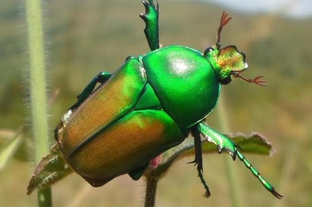 coleoptra in nigerian montane forest