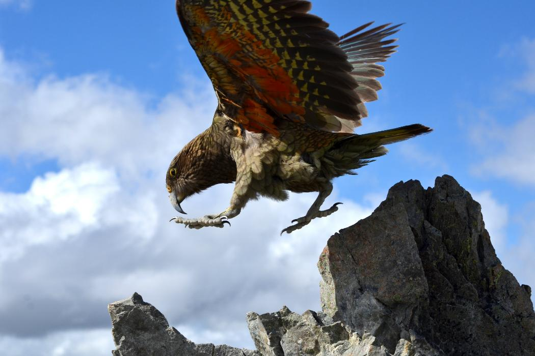 Kea landing on rocks, Biology