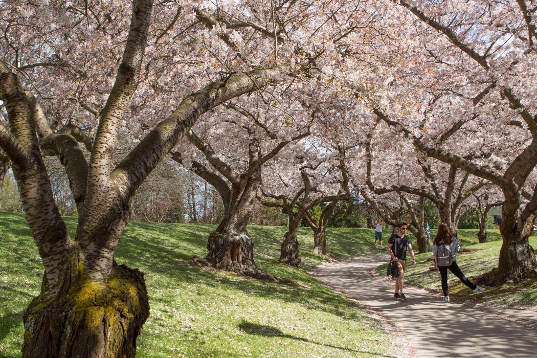 blossom walk at UC