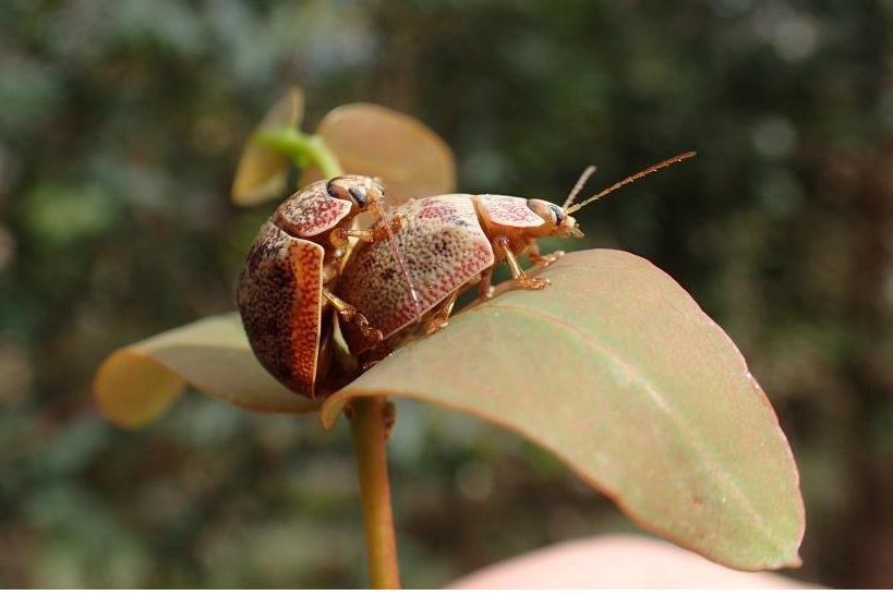 Paropsis beetle