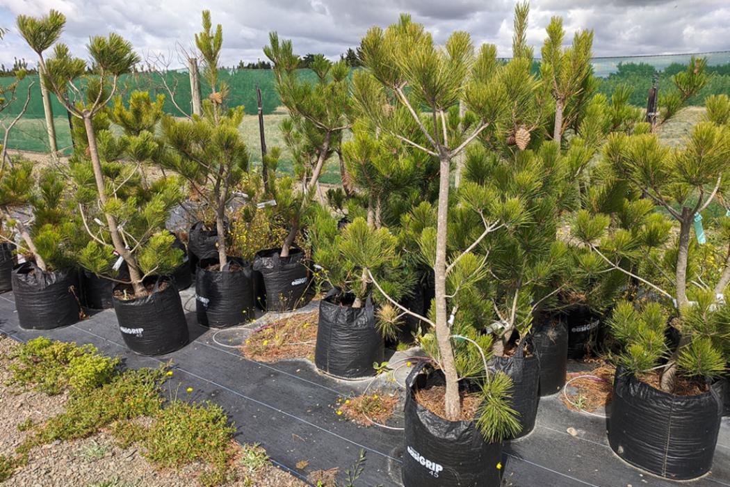 Pinus radiata seedlings