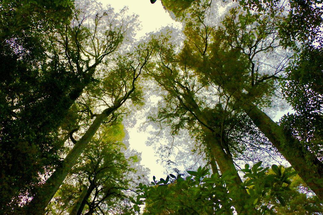 kahitkatea trees