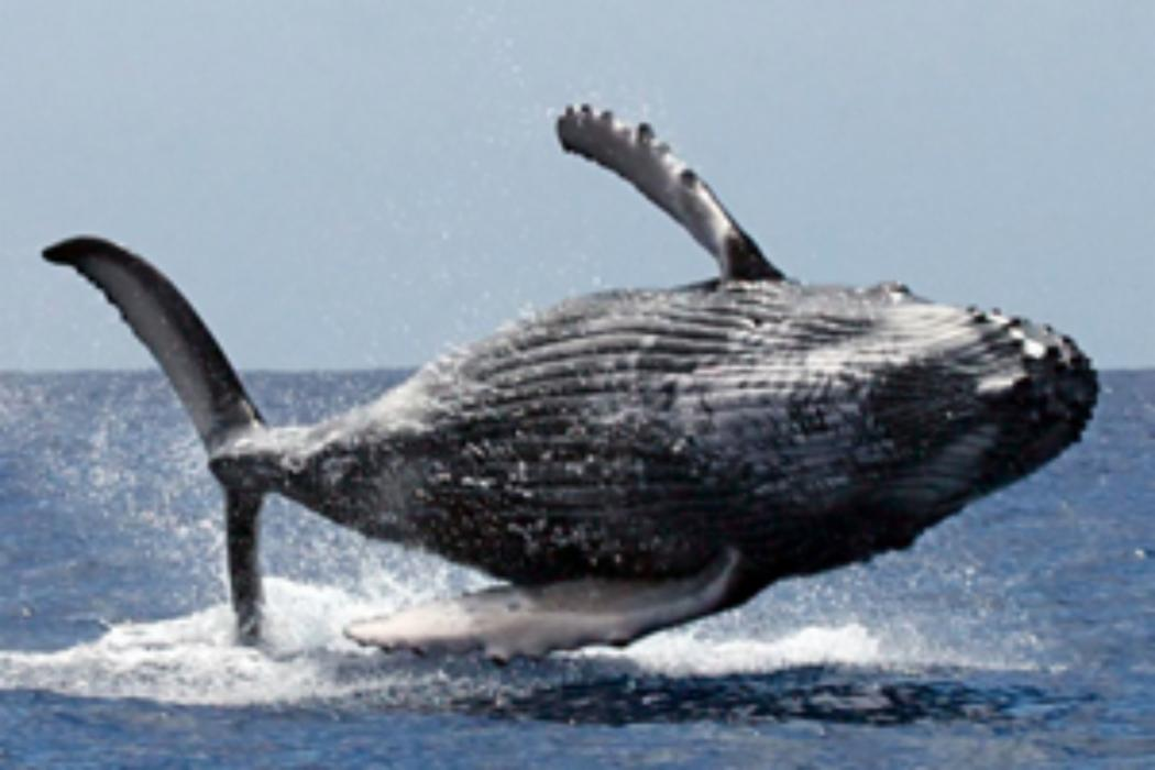 UC researchers reveal amazing navigational precision of humpback whales