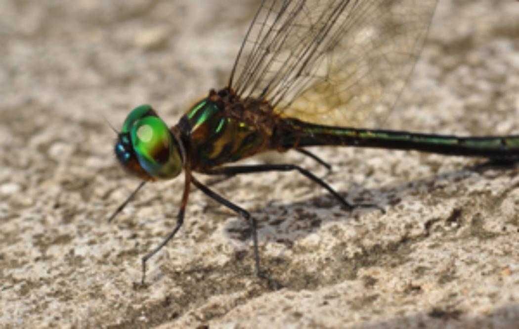UC researchers discover new viruses in dragonflies