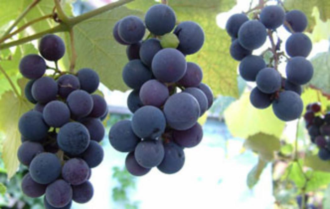 Wine industry to benefit from UC weather research