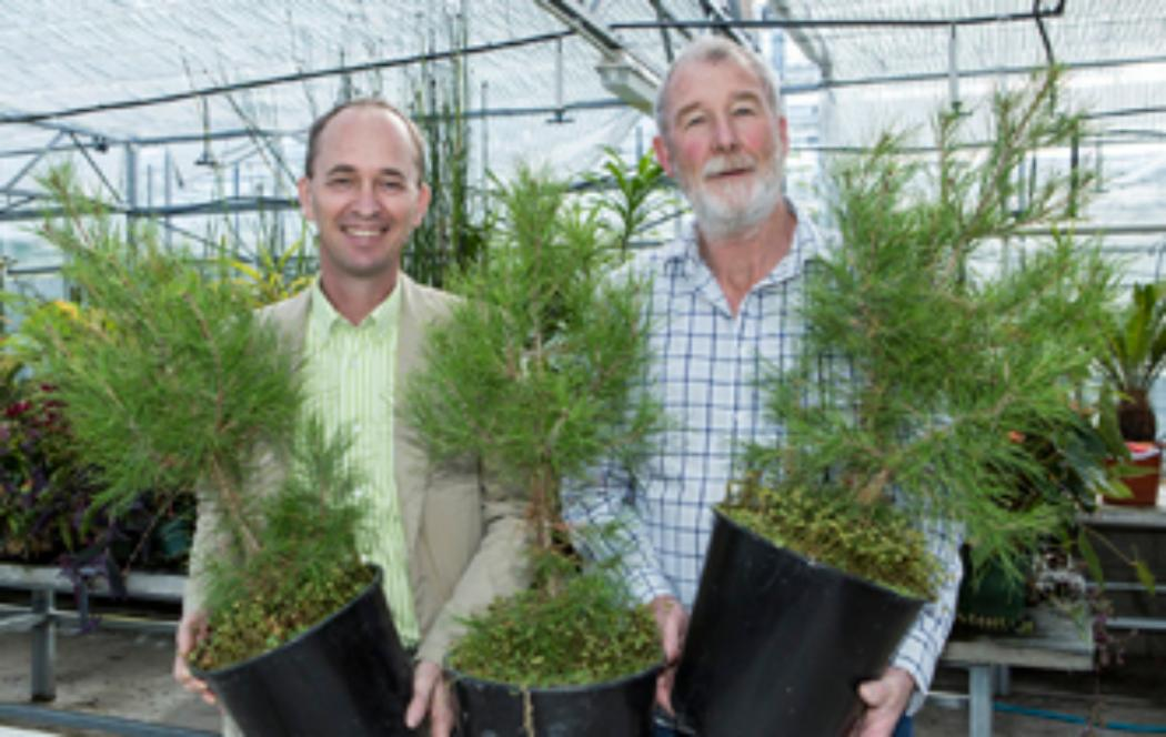 Lone Pine seedlings to mark the 100th anniversary
