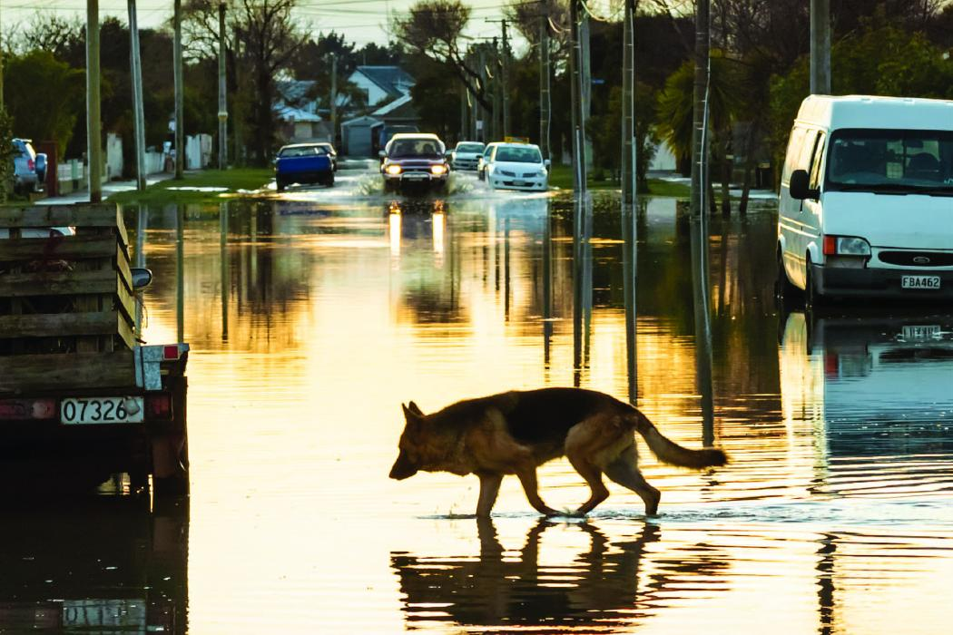 Alsatian dog in flood water post quake