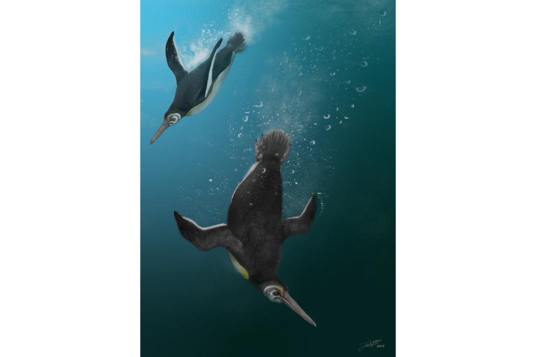 Chatham Island Penguins