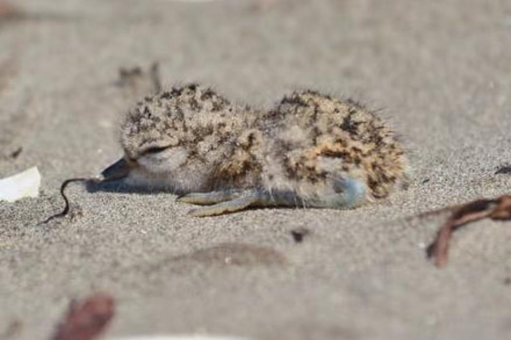 Dotterel chick