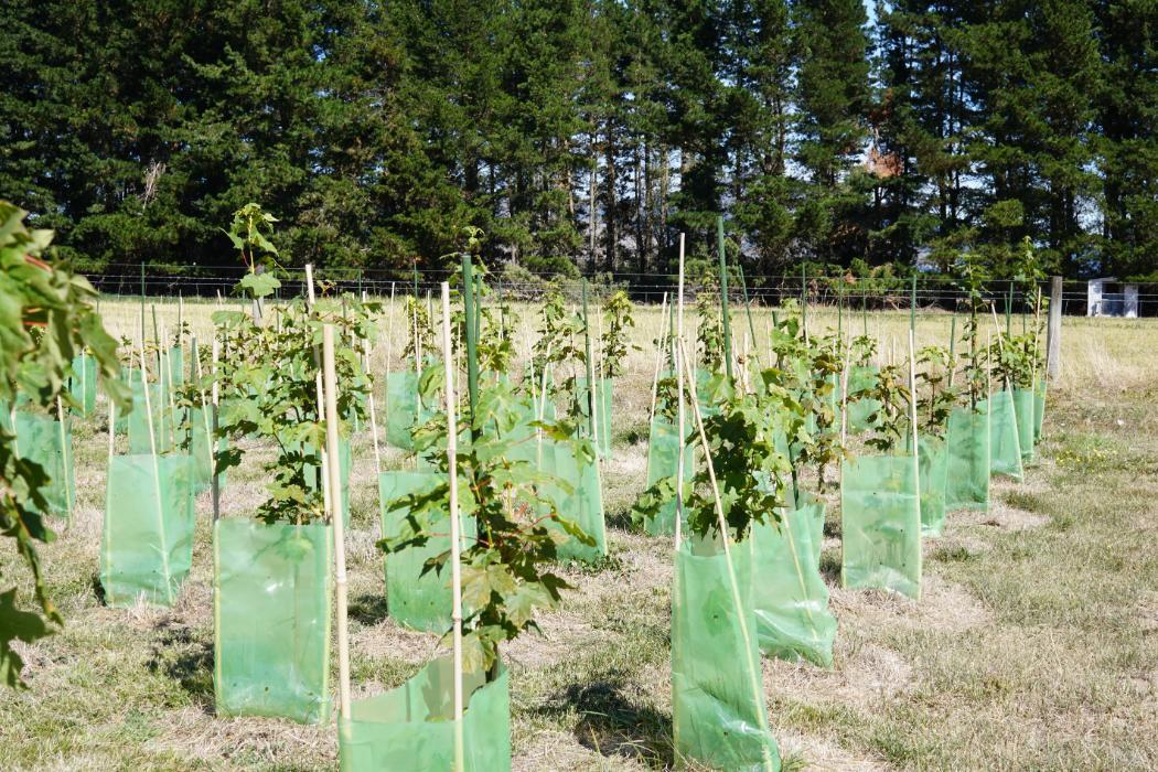 Trial plantation maple syrup test
