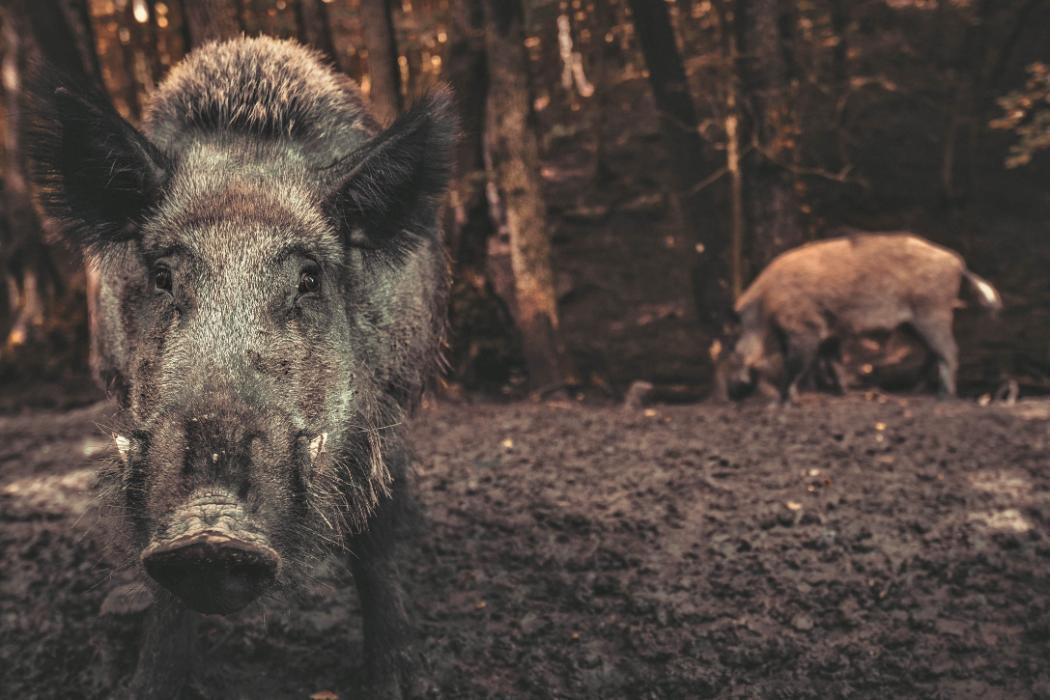 Wild Pigs carbon