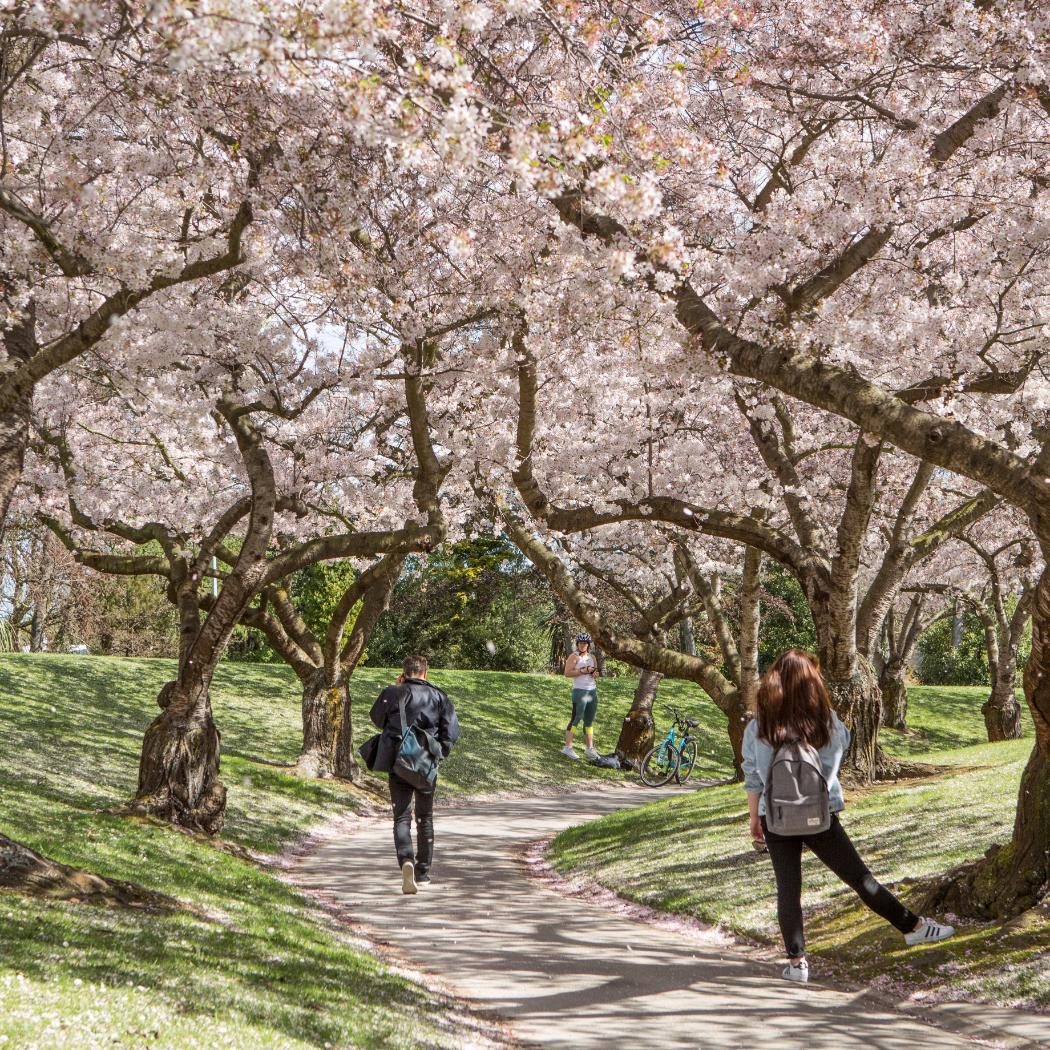 students on blossom walk on campus