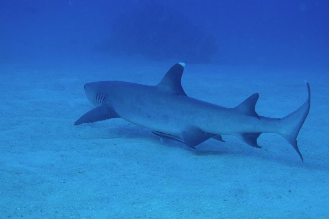 Underwater photograph of a shark, Biology