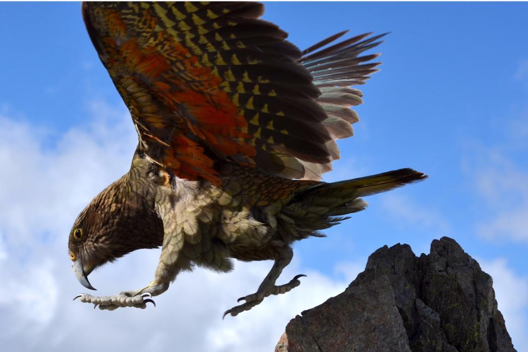 Kea taking flight, Biology