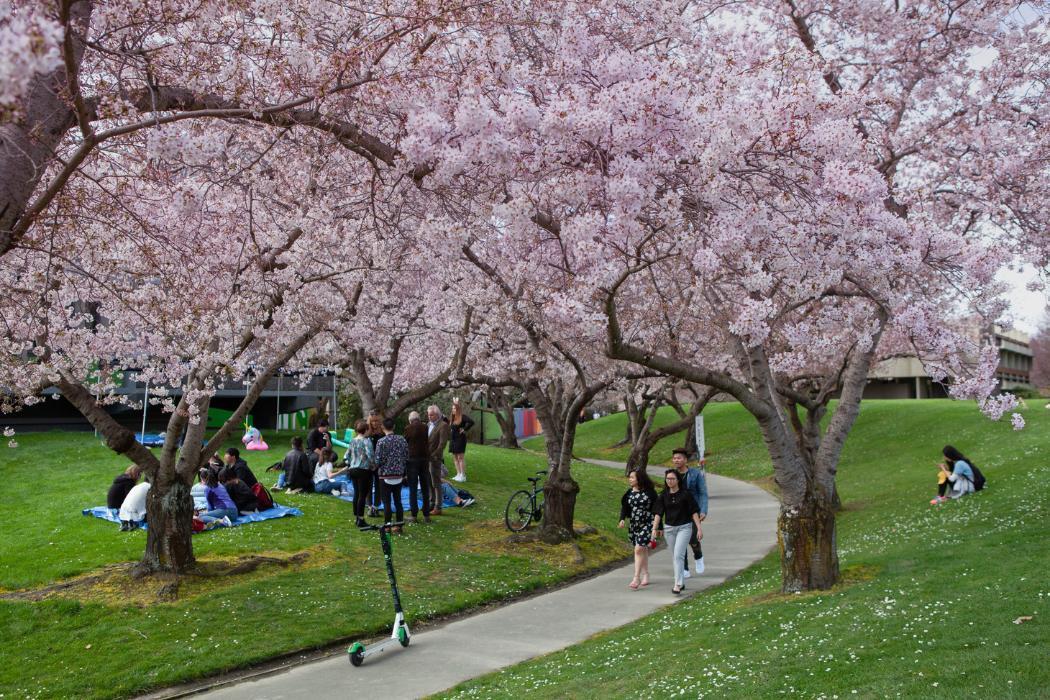Christchurch City, Cherry Blossom
