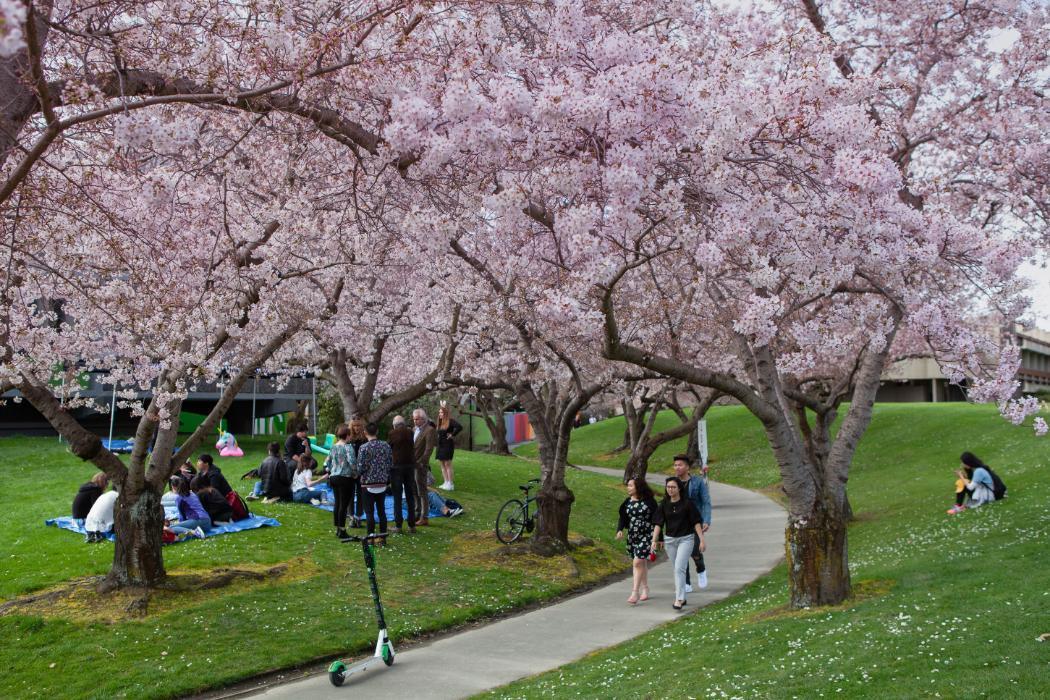 UC Campus, cherry blossom