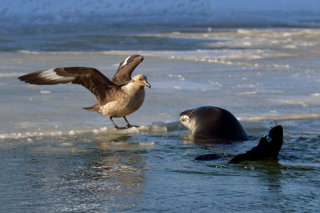 seagull chatting to seal, Antarctica