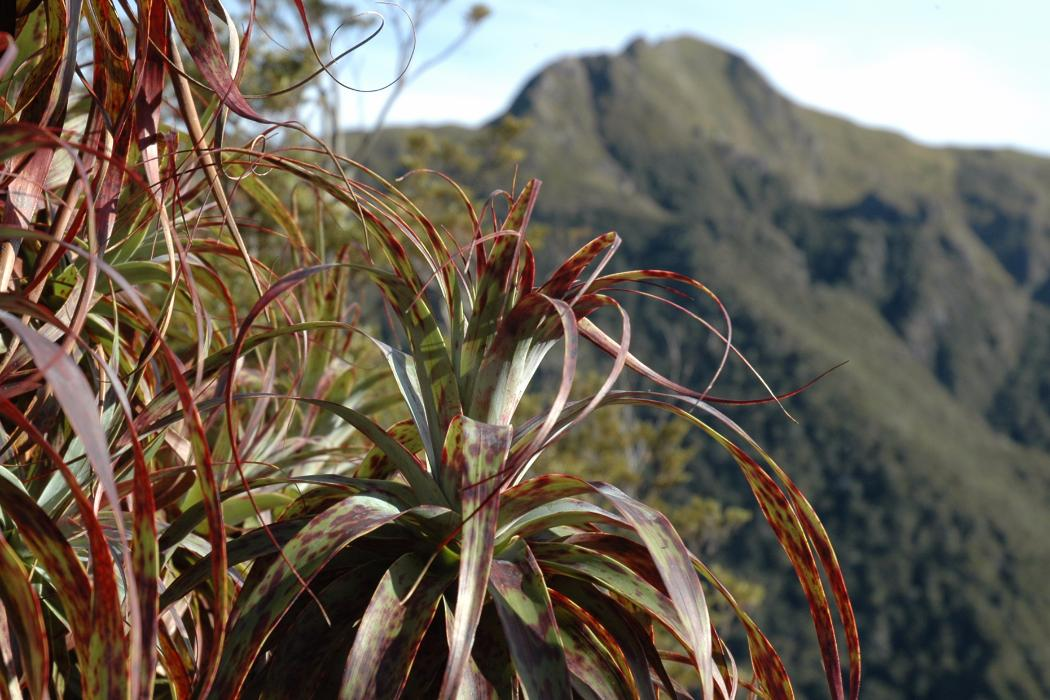 Red flax on a mountain, Biology