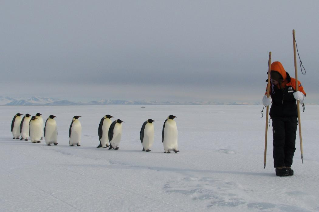 researcher being followed by a line of emperor penguins, Antarctica
