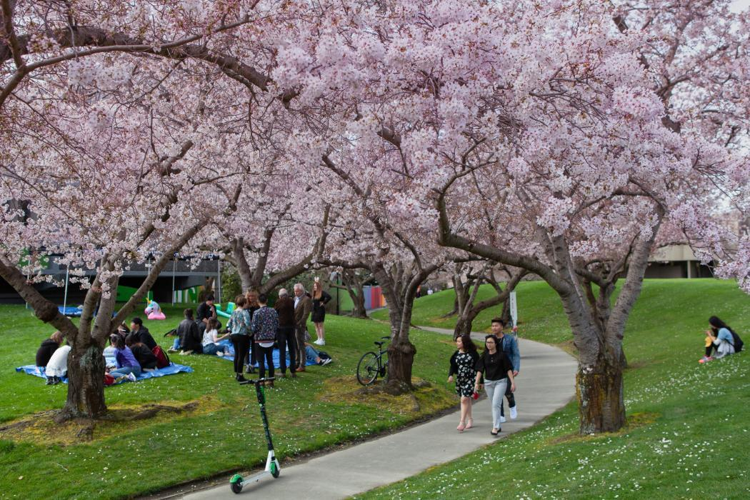 Cherry Trees UC campus